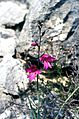 Gladiolus illyricus Koch (6525307063).jpg