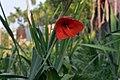 Gladiolus red 02.jpg
