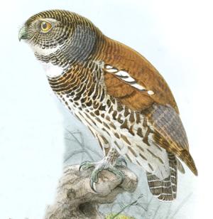 Chestnut-backed owlet - Image: Glaucidium Castanonotum Legge