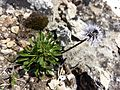 Globularia cordifolia sl1.jpg