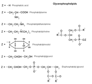 Glycerophospholipid - Image: Glycerophospholipids