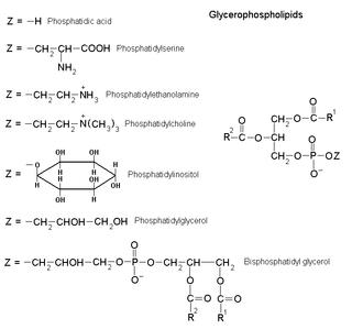 Glycerophospholipid - Image: Glycerophospholipids