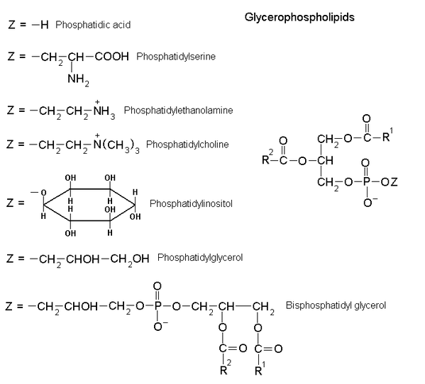 Glycerophospholipids.png