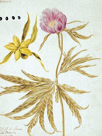Johann Georg Gmelin - Paeonia anomala L. from Flora Sibirica