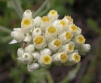 P. californicum