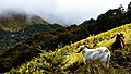 Goats on a hillside (Unsplash).jpg