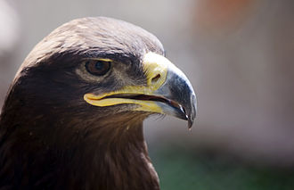 Golden eagle - Golden Eagles are often silent