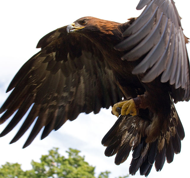 Golden Eagle in Flight, by Wikimedia user Tony Hisgett, licensed by Creative Commons.
