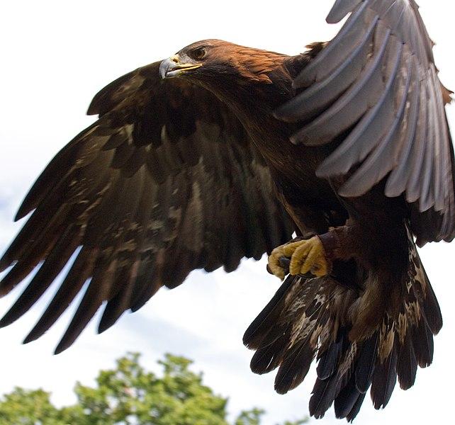 File:Golden Eagle in flight - 5.jpg