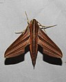 Golden Striped Hawkmoth Theretra lycetus by Dr. Raju Kasambe DSCN8366 (1).jpg