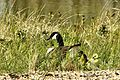 Goose with brood - Lackford Lakes (26562432220).jpg