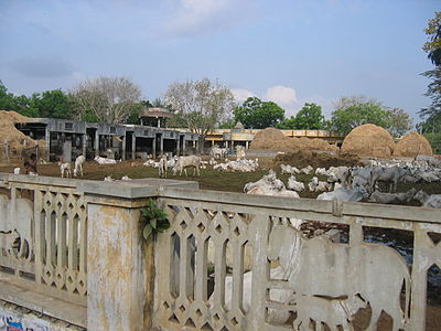 A goshala or cow shelter at Guntur Gosala in Guntur, India.jpg