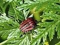 Graphosoma lineatum (14358750256).jpg