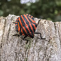 Graphosoma lineatum in the Aamsveen, The Netherlands.jpg
