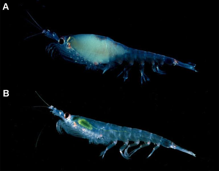 File:Gravid krill.png
