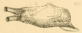 Gray1857 pl327 fig1 Lyonsia norwegica.png