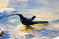 Great-Tailed Grackle (22942249524).jpg