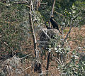 Great Cormorant (Phalacrocorax carbo) in Hyderabad, AP W IMG 4991.jpg