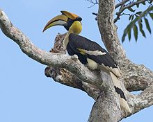 Great Hornbill (Buceros bicornis) - Flickr - Lip Kee (1).jpg