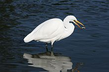 A white egret in the water faces right, with its beak open and a fish in the air