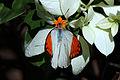 Great orange tip (Hebomoia glaucippe javanensis) male Bali I.jpg