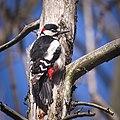 Great spotted woodpecker (49699946266).jpg
