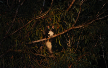 Greater Glider Petauroides volans.png