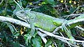 Green Iguana (Iguana iguana), Poconé, Mato Grosso.jpg