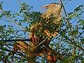 Green Iguana (Iguana iguana) (6775998755).jpg