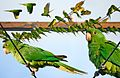 Green Parakeet From The Crossley ID Guide Eastern Birds.jpg