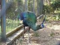 Green Peafowl Pavo muticus Manipur by Dr. Raju Kasambe P1280796 (3).jpg