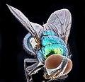 Green metallic fly, Belltsville, back 2020-10-16-18.07.16 ZS PMax UDR (50498586653).jpg