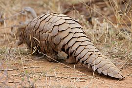 Ground Pangolin at Madikwe Game Reserve.jpg