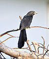 Grove-billed Ani (6901508570).jpg