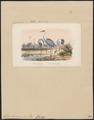 Grus vipio - 1871 - Print - Iconographia Zoologica - Special Collections University of Amsterdam - UBA01 IZ17300081.tif