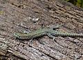 Guadarrama Wall Lizard (Podarcis guadarramae) male (14487390465).jpg