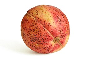 Guava fruit.jpg