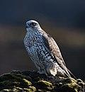 Gyr falcon - Falco rusticolus - Fálki 2.jpg