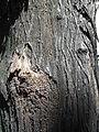HK CWB Summer 棉花路 Cotton Path tree un-01 trunk.JPG