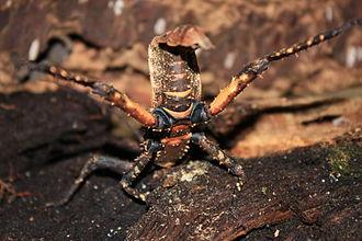 Phasmatodea - Defensive pose of a subadult female Haaniella dehaanii