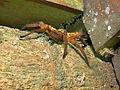 Hairy Roommate - Huntsman Spider (Sparassidae) (17910439696).jpg