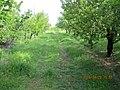 Haj Abdollah Mohamadi's Garden In Hajjiabad,Zeberkhan 13970201.jpg
