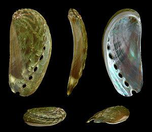 Haliotis asinina - Five views of a shell