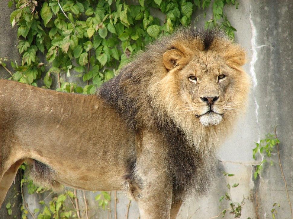 Handsome Lion 001