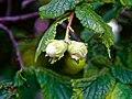 Hazelnut Corylus avellana at Woods Mill, Sussex Wildlife Trust, England 1.jpg