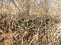 Hechtia species (5768629597).jpg