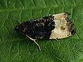 Hedya pruniana - Plum tortrix - Листовёртка сливовая (41294210671).jpg