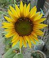 Helianthus-Sunflower (2).JPG