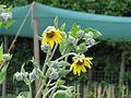 Helianthus mollis - Flickr - peganum.jpg