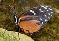 Heliconius hecale zuleika. - Flickr - gailhampshire (1).jpg